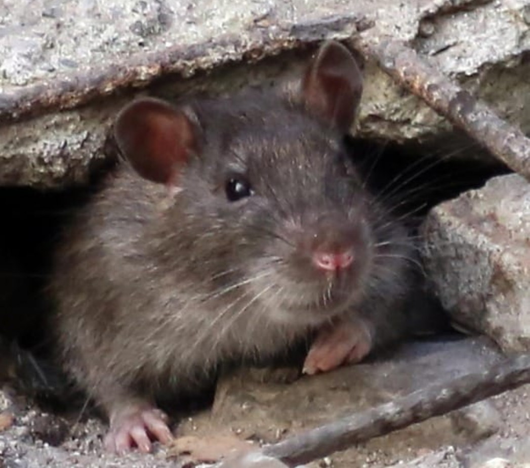 Messina invasa di topi, pronte le trappole con il Gps