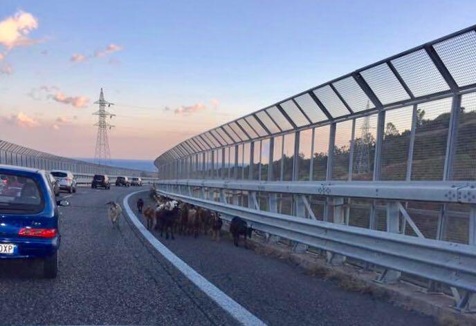 """Tangenziale: gregge a spasso sul viadotto """"Ritiro"""""""
